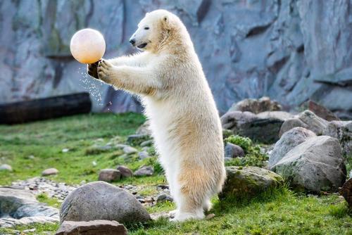 بازی یک خرس قطبی ماده با توپ در جشن تولد 1 سالگی اش در باغوحشی در آلمان