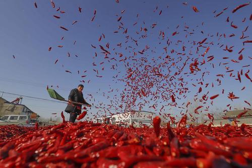 خشک کردن فلفل قرمز در تانگشان چین/ شینهوا