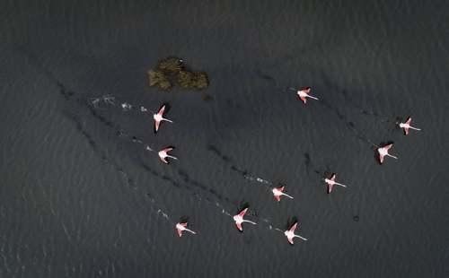 فلامینگوهای مهاجر در دریاچهای در منطقه