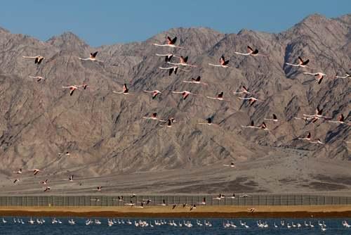 پرواز فلامینگوهای مهاجر در مرز اردن و اسراییل/EPA