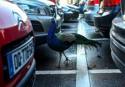 جولان یک طاووس در پارکینگ مقر اروپایی سازمان ملل در شهر