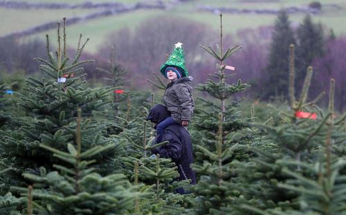خرید کاج برای تزیین در جشن کریسمس/ ایرلند