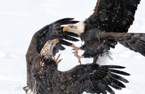 نبرد دو عقاب بر فراز آسمان/ ایالت آلاسکا آمریکا/ عکس روز وب سایت