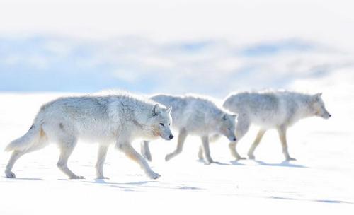 گروهی از گرگهای سفید قطبی در کانادا/ عکس روز وب سایت