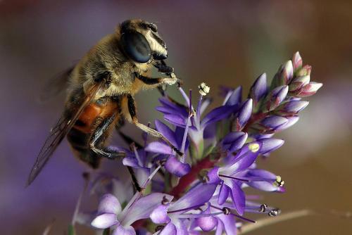 زنبور عسل در تابستان نیوزیلند