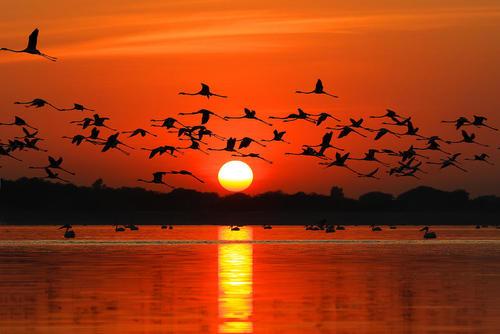پرواز فلامینگوها بر فراز دریاچه