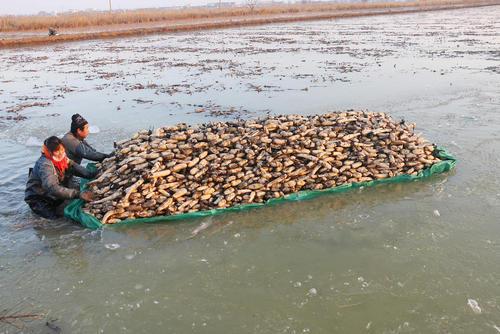 جمعآوری ریشه گل نیلوفر آبی در استان جیانگسو در شرق چین