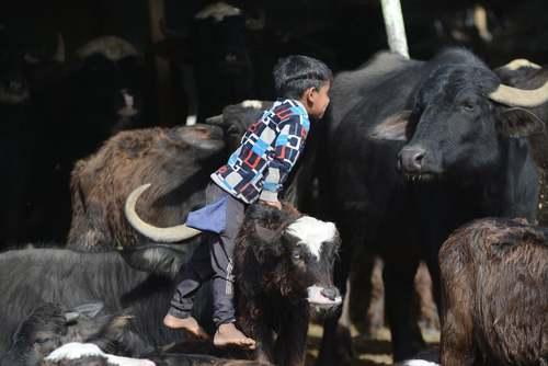 بازی یک پسر بچه با گاوها در روستایی در حومه شهر نجف عراق/EPA