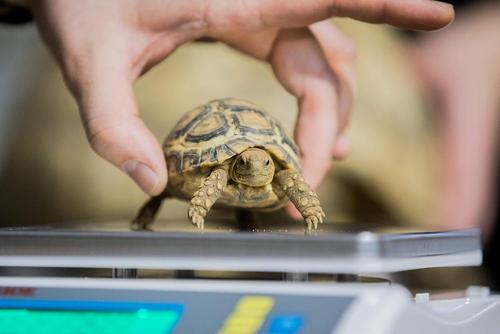 وزن کردن یک بچه لاکپشت در سرشماری سالانه باغ وحش