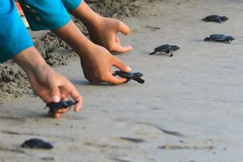 کودکان اندونزیایی در حال رها کردن بچه لاک پشتها در ساحل اقیانوس/ خبرگزاری فرانسه