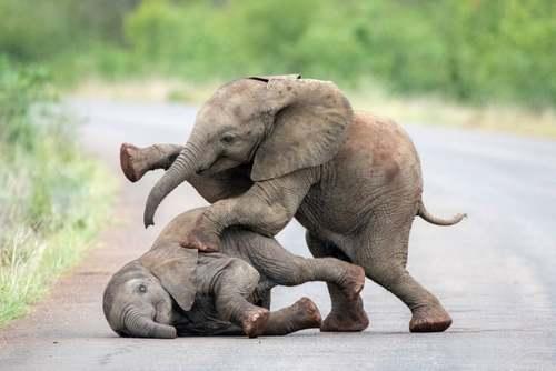 بازی دو بچه فیل در یک پارک ملی در آفریقای جنوبی