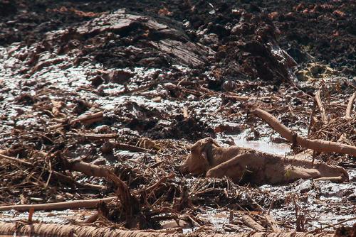 گیر کردن یک گاو در گلولای ناشی از شکستن یک سد در ایالت