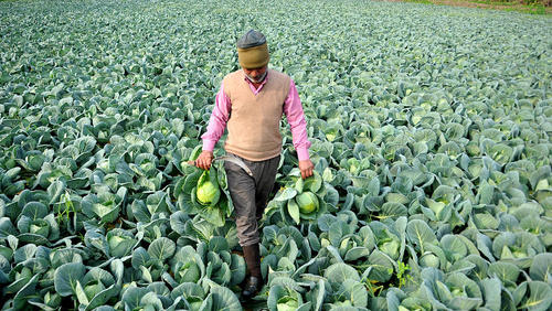یک مزرعه کشت کلم در منطقه جامو هند/ شینهوا