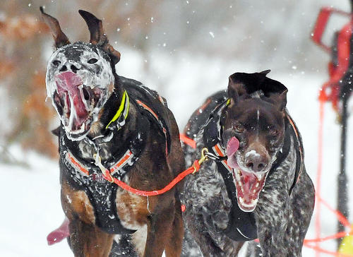 مسابقات جهانی سورتمهرانی با سگ در آلمان/ خبرگزاری آلمان