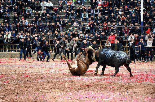 مبارزه گاوها در
