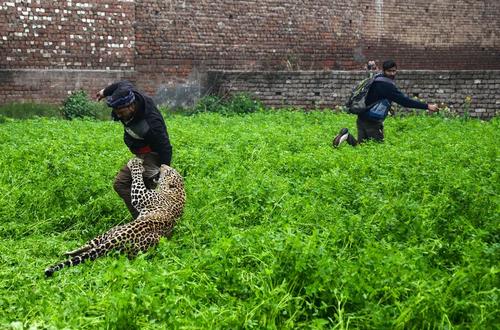 حمله یک پلنگ به روستایی در هند. بر اساس اعلام رسانههای هندی در این حادثه خوشبختانه به کسی آسیب جدی وارد نشد و 6 نفر خراشهایی سطحی برداشتند./ خبرگزاری فرانسه