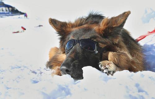 زدن عینک آفتابی به سگ برای جلوگیری از کوری دید در برف به هنگام تمرین دادن یک سگ نجات 5 ساله در آلمان/ خبرگزاری آلمان