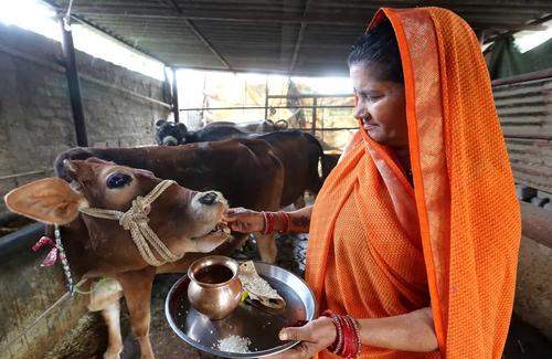 غذا دادن به گاو در طویلهای در بوپال هندوستان/EPA