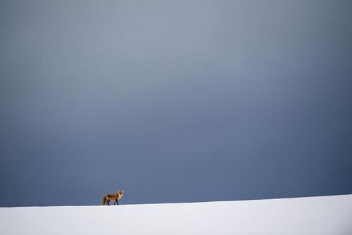 یک روباه در هوای برفی/ آلمان/ خبرگزاری آلمان