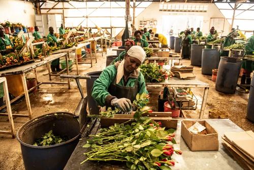 کارگاه بستهبندی گل رُز در کنیا. کنیا 38 درصد از گل رُز وارداتی اتحادیه اروپا را تامین میکند./ گتی ایمجز