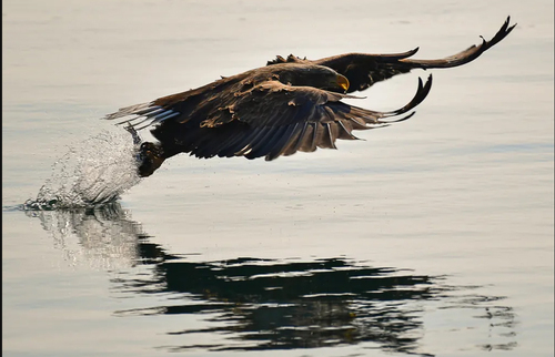 شکار یک ماهی از سوی عقاب دریایی در ولادی وستک روسیه/ ایتارتاس
