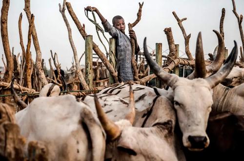 بازار فروش احشام در نیجریه/ خبرگزاری فرانسه