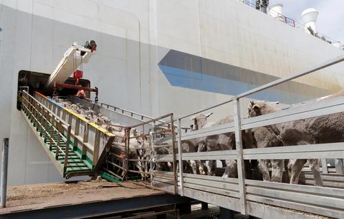 گوسفندان استرالیایی در حال بارگیری به کشتی برای صادرات به خاورمیانه/ بندر پرث استرالیا/ EPA