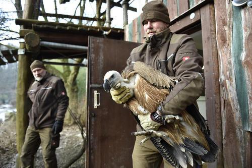 آزاد کردن لاشخورها از باغ وحش در طبیعت / جمهوری چک