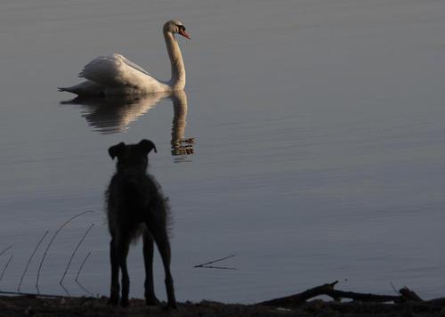 یک سگ در حال تماشای شنای قو در دریاچه/ برلین