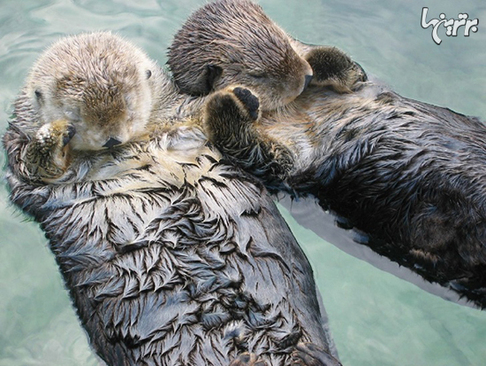 سمورهای دریایی هنگام خواب دست یکدیگر را میگیرند تا از هم جدا نشوند.