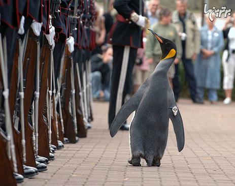 نروژ به یک پنگوئن مقام شوالیه داد و نامش «نیلز اولاف» است.
