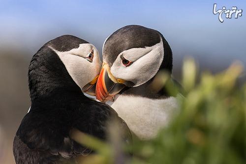 طوطیهای دریایی تک همسر هستند و تنها یک بار در عمرشان جفت میگیرند.