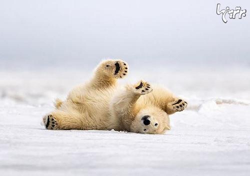 خرسهای قطبی با مالیدن خودشان روی برف خودشان را تمیز میکنند.