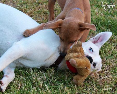 بیشتر اوقات، سگهای نر به سگهای ماده اجازه میدهند در بازی برنده شوند.