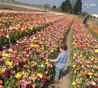 هلند برای قدردانی از کمکهای کانادا در جنگ جهانی دوم، هر سال ۲۰۰۰۰ شاخه گل لاله به کانادا میفرستد.