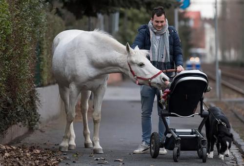 ابراز مهر ماده اسب 22 ساله نژاد عرب به یک نوزاد آلمانی/ فرانکفورت/ خبرگزاری فرانسه