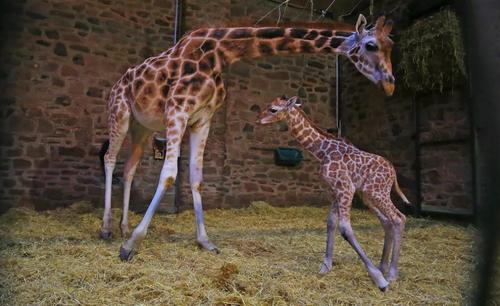 راه رفتن بچه زرافه تازه متولد شده در باغ وحش