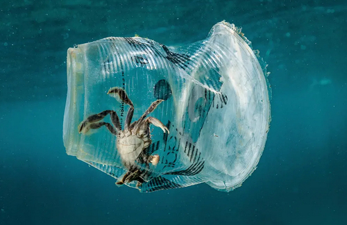 گیر افتادن  یک خرچنگ در داخل یک ظرف پلاستیکی درآبهای ساحلی فیلیپین/EPA