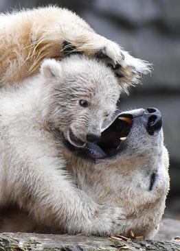 بازی توله خرس باغوحش برلین با مادرش/ خبرگزاری آلمان