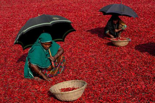 خشک کردن فلفل قرمز/ بنگلادش