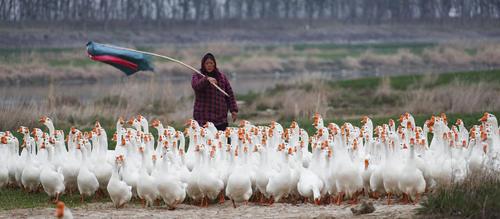 کشاورز چینی در حال هدایت غازهایش به مسیر مورد نظر