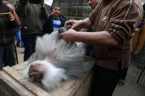 تخلیه باغ وحش غزه از سوی یک نهاد خیریه بینالمللی حامی حیوانات به دلایل نبود امکانات لازم برای نگهداری آنها