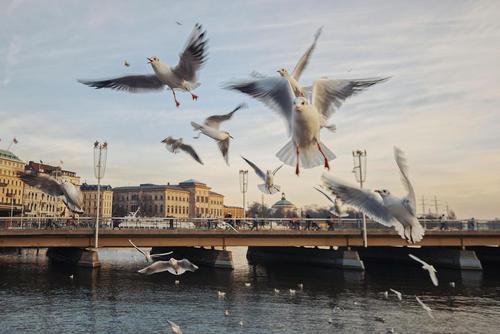 پرواز مرغان دریایی در شهر استکهلم سوئد/ زوما