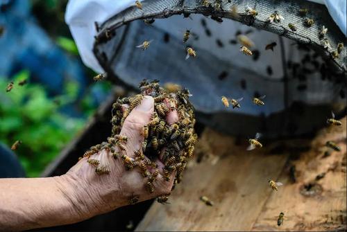 زنبوردار هنگ کنگی با دست پر از زنبور / خبرگزاری فرانسه