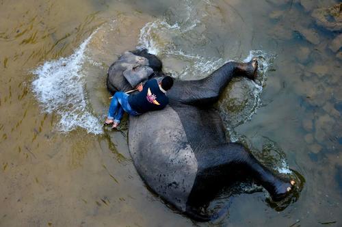 شستشوی یک فیل در رودخانه/ آچه اندونزی/ خبرگزاری فرانسه