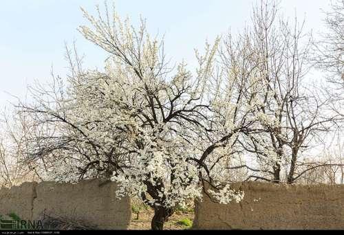 ایران زیباست؛ شکوفههای بهاری در آذربایجان شرقی (عکس) - 3