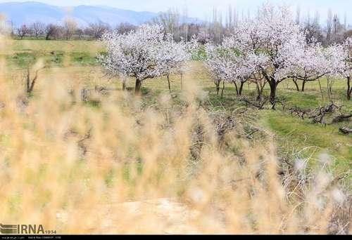 ایران زیباست؛ شکوفههای بهاری در آذربایجان شرقی (عکس) - 4