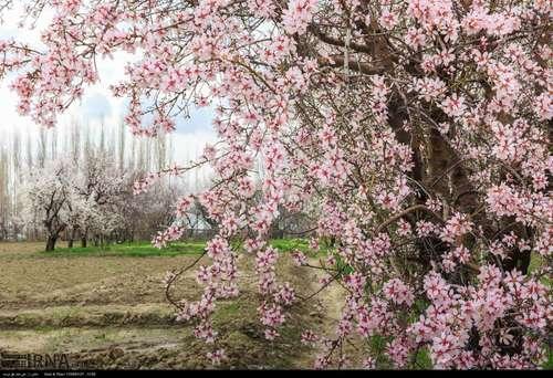 ایران زیباست؛ شکوفههای بهاری در آذربایجان شرقی (عکس) - 6