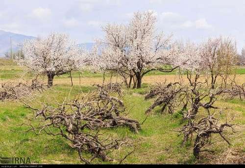 ایران زیباست؛ شکوفههای بهاری در آذربایجان شرقی (عکس) - 7