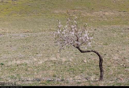 ایران زیباست؛ شکوفههای بهاری در آذربایجان شرقی (عکس) - 15
